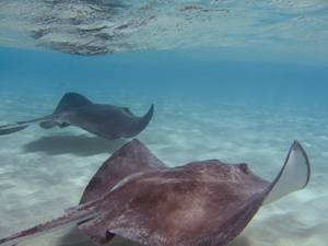 Stingray Under Water, String Ray City, Grand Cayman